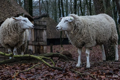 There is something on your face... (Ivan van Nek) Tags: nikon d7200 schaap sigma1770 sheep arnhem gelderland nederland paysbas dieniederlande