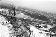 Zöbing (Harald Reichmann) Tags: zöbing heiligenstein landschaft winter schnee weinbau weinstock zeile kamp