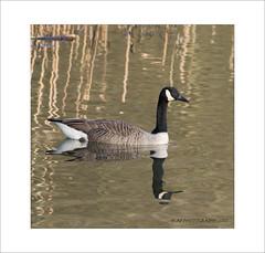 Canada Goose Reflection (prendergasttony) Tags: nikon d7200 lancashire bird flight wildlife nature goose canada feathers tonyprendergast elements border birdwatching birding reflection rspb water pennington framing feather