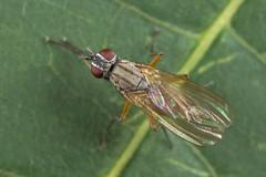 91353 (NakaRB) Tags: 2018 insecta diptera