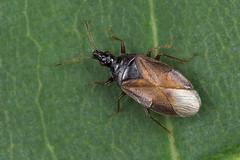 91284 (NakaRB) Tags: 2018 insecta hemiptera anthocoridae