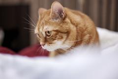 Z6__DSC1309_C1 (Bazoka+Cynthia) Tags: alpha cat 小婆 新北市 樹林區 貓
