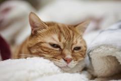 Z6__DSC1329_C1 (Bazoka+Cynthia) Tags: alpha cat 小婆 新北市 樹林區 貓