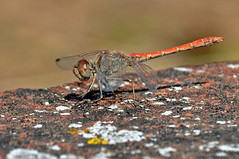 Sympetrum sinaiticum (Dumont, 1977 (ajmtster) Tags: macro macrofotografía insecto insectos invertebrados libelulas odonatos sympetrum sinaiticum sympetrumsinaiticum amt dragonflies dragonfly macho male