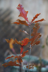 DSC02609 (Lens Lab) Tags: sony a7r plants garden komura 80mm f18 leaves