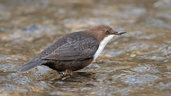 Dipper (Tony_Fallon) Tags: dipper river water bird wildlife droplets