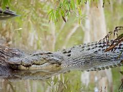 _1082539 (ps.mustang33) Tags: crocodiles crocodile reptile reptiles saltie saltwatercrocodile