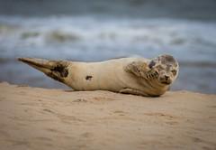 Sand in my eye's , Again !!! (paullangton) Tags: seal greyseal coast norfolk beach mammal pup sea canon 70200mm sand horseygap nature wildlife