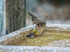 Splish Splash (ACEZandEIGHTZ) Tags: yellow palmwarbler setophagapalmarum nikond3200 backyard birdwatcher birdbath water droplets bokeh closeup wings winged feathers small