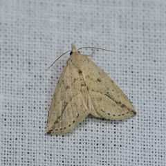 DSC_2441 (Pasha Kirillov) Tags: lepidoptera taxonomy:order=lepidoptera moth madagascar