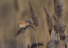 Bearded Tit (Female)-5051894-1 (seandarcy2) Tags: tit tits titchwell titchwellrspb birds beardedtit beardie reedling wild wildlife avian norfolk uk