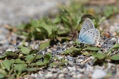 Polyommatus amandus (Sinkha63) Tags: insecta papillon amandasblue azuré azurédelajarosse lycaenidae polyommatinae polyommatus polyommatusamandus butterfly lepidoptera male mâle animal aude occitanie pyrénées joucou france