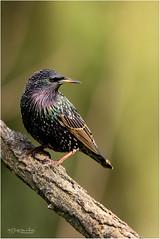 Starling (Gertj123) Tags: bokeh bird songbird animal avian garden netherlands nature wildlife spring