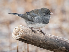 Dark-eyed Junco (shooter1229) Tags: animal avian bird darkeyedjunco heronpark nature outdoors wetlands wildlife