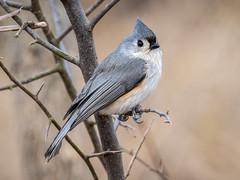 Tufted Titmouse (shooter1229) Tags: animal avian bird heronpark nature outdoors tuftedtitmouse wetlands wildlife