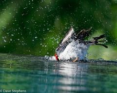 Splish Splash (dcstep) Tags: bird yellowbilledcardinal bath infinitypool allrightsreserved dxophotolab copyright2020davidcstephens hawaii bigisland kona dsc7702dxo instagram