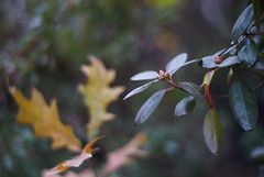 DSC02623 (Lens Lab) Tags: sony a7r plants garden komura 80mm f18 leaves rhododendron