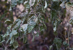 DSC02612 (Lens Lab) Tags: sony a7r plants garden komura 80mm f18 leaves branches