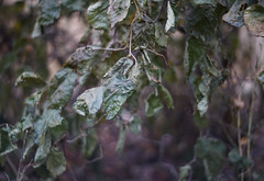 DSC02610 (Lens Lab) Tags: sony a7r plants garden komura 80mm f18 leaves branches