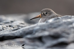 Purple sandpiper (Matt Hazleton) Tags: wildlife nature animal outdoor bird canon canoneos7dmk2 canon500mm eos 7dmk2 500mm matthazleton matthazphoto calidrismaritima purplesandpiper sandpiper cornwall wader sea coast shore shorebird