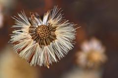 Aster (pstenzel71) Tags: blumen natur pflanzen aster withered darktable flower bokeh winter ilce7rm3 sel90m28g