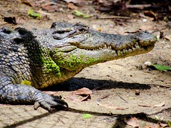 _1082345 (ps.mustang33) Tags: crocodiles crocodile reptile reptiles saltie saltwatercrocodile