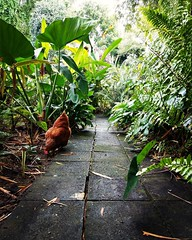 The Guardian of the path. Loved this view of a path leading into your imagination with a mother hen to protect the gateway.   #imagination #path #chicken #hen #stkittsandnevis #gonelimin #cellphonephotography #coexist #jungle #vacation #islandlife (One World United Photos LLC) Tags: hen islandlife path coexist chicken gonelimin cellphonephotography vacation jungle imagination stkittsandnevis