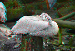 Pelican Blijdorp 3D (wim hoppenbrouwers) Tags: pelican blijdorp 3d anaglyph stereo redcyan