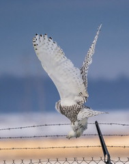 That Wing Span . . . (Dr. Farnsworth) Tags: snowyowl snowy owl bird female large flying fence barbed wire field sunshine muskegon mi michigan winter january2020