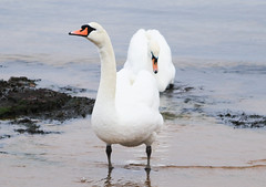 Arran Mute Swans in Scotland (Dave Russell (1.5 million views thanks)) Tags: whiting bay beach isle arran island clyde west western scotland ecosse swan bird water marine maritime photo photograph photography outdor wild life wildlife nature animal mute cygnus olor canon eos eos7d 7d