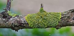 Xanthoria parietina on hawthorn (Alone again. Naturally.) Tags: lichen d7500