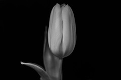 Tulpe (wpt1967) Tags: 22012020 canon50mmcompactmacro canon6d eos6d tulpe bw gelb sw tulip wpt1967 yellow