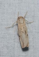 DSC_2452 (Pasha Kirillov) Tags: lepidoptera taxonomy:order=lepidoptera moth madagascar