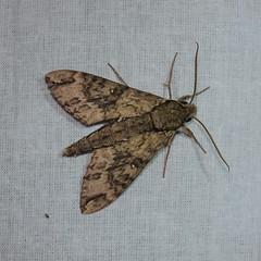 DSC_2444 (Pasha Kirillov) Tags: lepidoptera taxonomy:order=lepidoptera moth madagascar