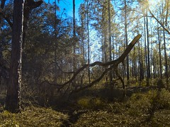 Rising (surfcaster9) Tags: morning pinetrees outside oak branch forest nature micro43 lumix20mmf17llasph florida lumixg7 outdoors woods