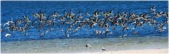 North Shore Park Beach - St Petersburg, Florida (lagergrenjan) Tags: north shore park beach st petersburg florida birds