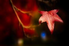 The red leaf (antony5112) Tags: foglie autunno autumn leaves leaf red fall nature closeup outside fallcolours