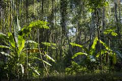 Jungle - Ko Payam - Thailand (TojoLeo) Tags: jungle green tree thailand fuji ko phayam payam leaves woods forest