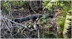 Sawgrass Lake Park - St Petersburg, Florida (lagergrenjan) Tags: sawgrass lake park st petersburg florida alligator