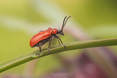 red bug (rian.krenzer) Tags: animal bokeh bug closeup colorful detailed drops field garden insect macro meadow summer sunny water