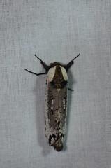 DSC_2451 (Pasha Kirillov) Tags: lepidoptera taxonomy:order=lepidoptera moth madagascar cossidae taxonomy:family=cossidae