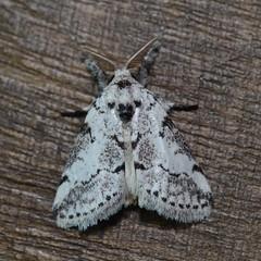 DSC_2443 (Pasha Kirillov) Tags: lepidoptera taxonomy:order=lepidoptera moth madagascar