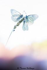 Trio Pastel (Thomas Delahaye) Tags: thomas delahaye macro butterfly alps french natural high key wildlife insect bug ngc pralognan 100mm canon