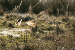 Short Eared Owl-9331 (WendyCoops224) Tags: 100400mmlmk2 80d fens canon eos ©wendycooper asio flammeus short eared owl