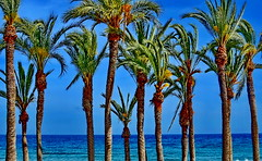 Palm Trees (gerard eder) Tags: world travel reise viajes europa europe españa spain spanien valencia costablanca palmeras paisajes palmen palmtrees palmtree horizon seascape sea mediterraneo mittelmeer landscape landschaft panorama outdoor blue natur nature naturaleza