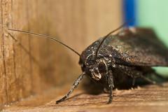 Moth #29 (Thomas Langhans) Tags: lepidoptera nationalmothweek moth insect