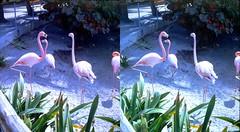 Batch G 0162 (dizzygum) Tags: vintage 3d stereo slide image 1959 flamingos