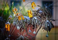 Flora de Invierno (Pepenera) Tags: floradeinvierno fotografia foto lookingcloseonfriday winterflora