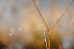 Dreaming of past glories (tonguedevil) Tags: outdoor outside countryside winter nature bokeh umbellifers colour light sunlight dream
