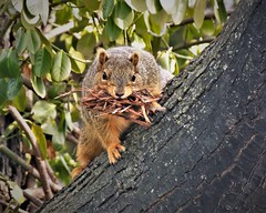 Someone Building a Nest (prsavagec) Tags: squirrel squirrels animal backyard tree nature naturephotography